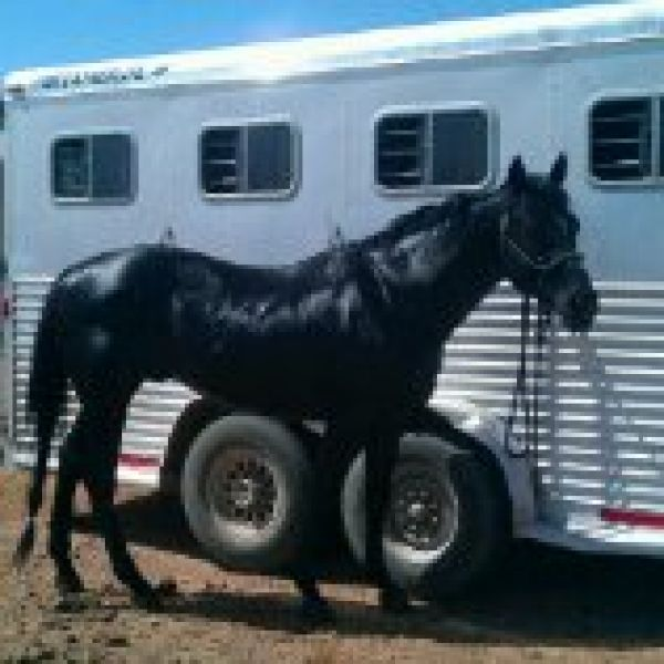 Black Quarter Horse Stallion for Sale in Wyoming