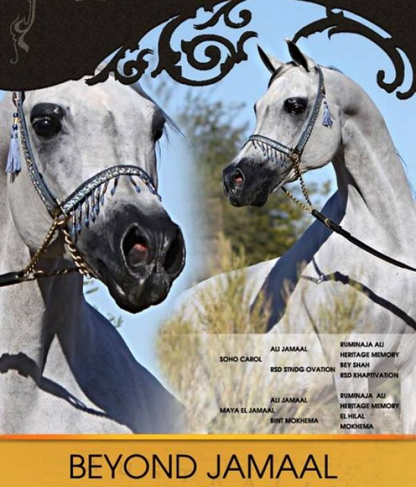 Grey Arabian Stallion for Sale in Colorado