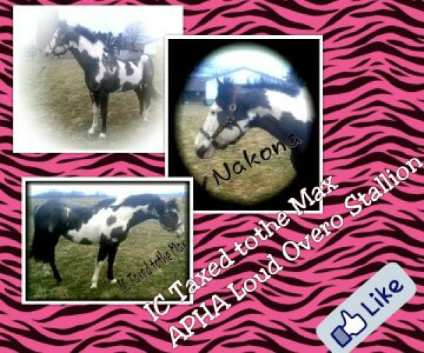Black Overo Paint Stallion for Sale in Ohio