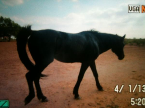Black Appaloosa Stallion for Sale in Texas