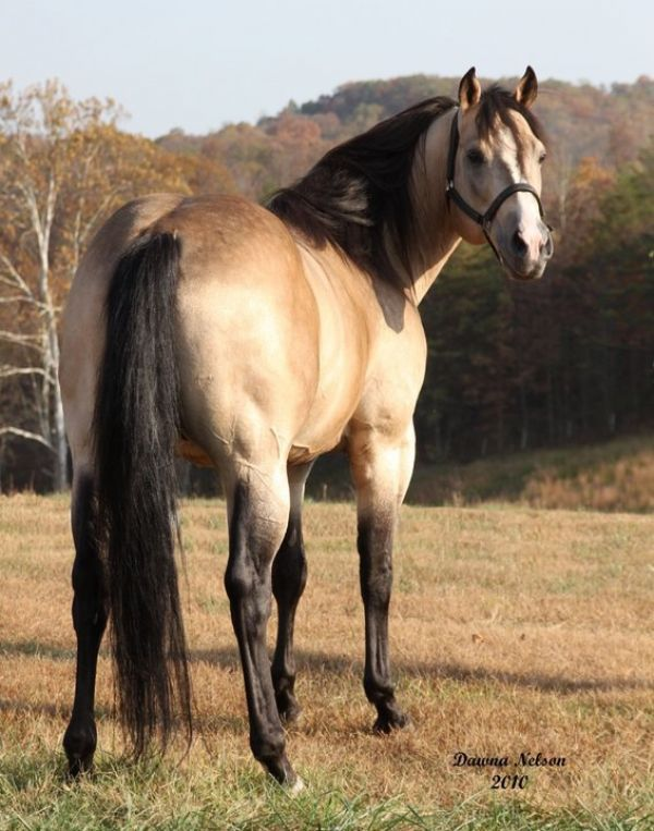 Buckskin Quarter Horse Stallion for Sale in Utah
