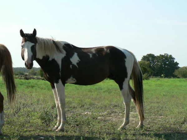 Tobiano Paint Stallion for Sale in Texas
