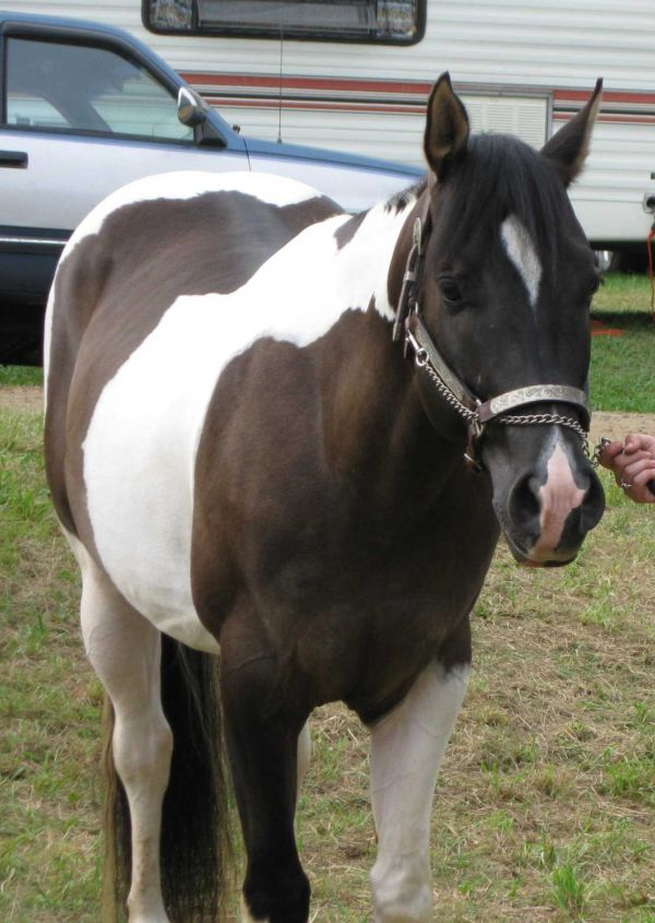 Grulla Paint Stallion for Sale in Pennsylvania