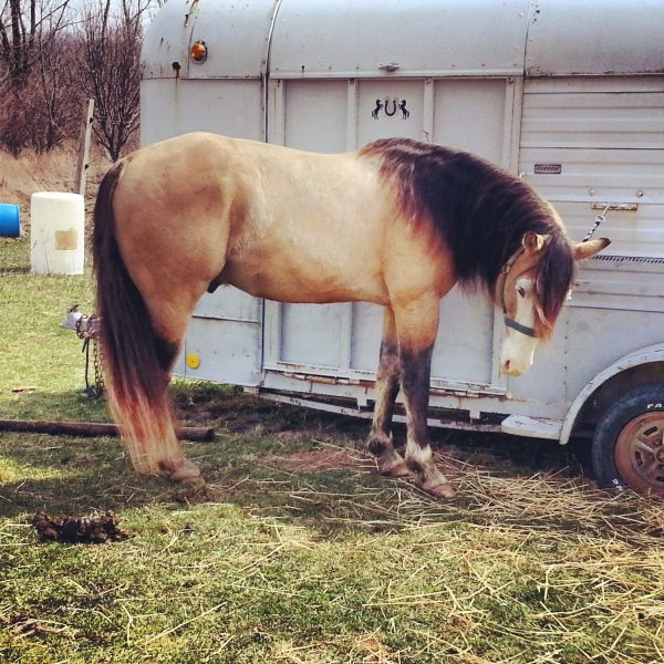 Dunskin Paint Stallion for Sale in Michigan