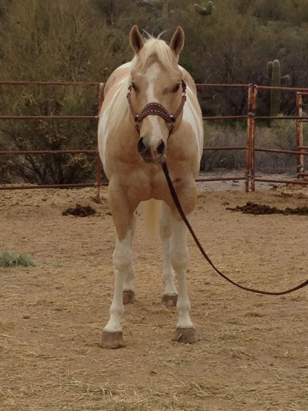 Palomino Paint Stallion for Sale in Arizona