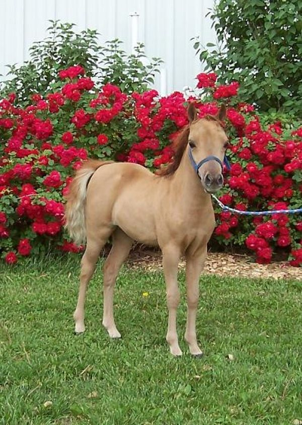 Sorrel Miniature Horse for Sale in Nebraska