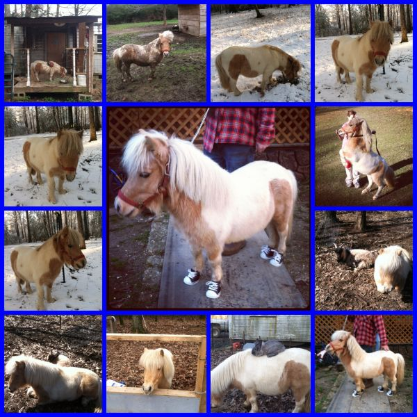 Palomino Miniature Stallion for Sale in Arkansas