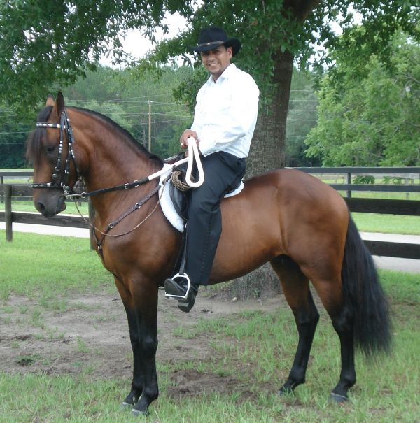 Bay Paso Fino Stallion for Sale in Florida