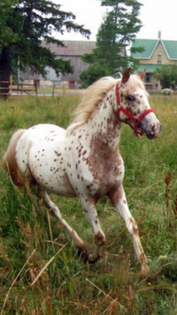 Chestnut POA Stallion