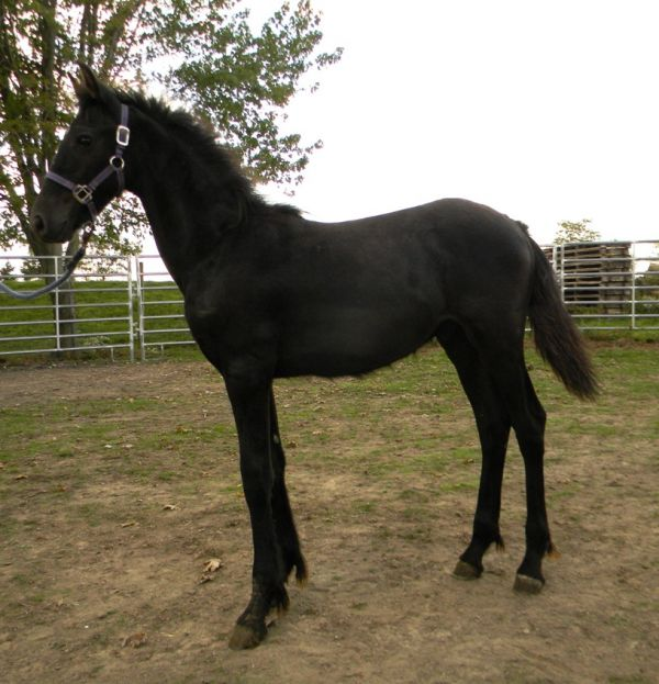 Black Friesian Horse for Sale in Missouri