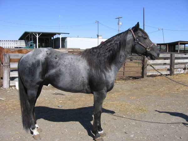 Blue Roan Quarter Horse Stallion for Sale in Montana
