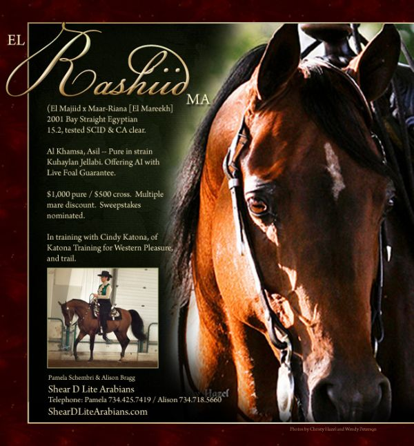 Bay Arabian Stallion for Sale in Michigan