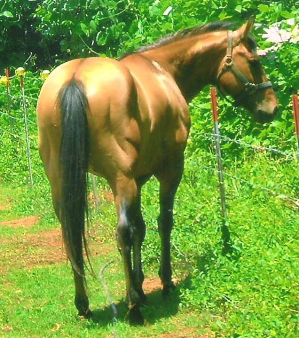 Dun Quarter Horse Stallion for Sale in South Carolina