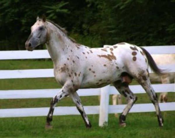 Dun Appaloosa Stallion for Sale in Pennsylvania