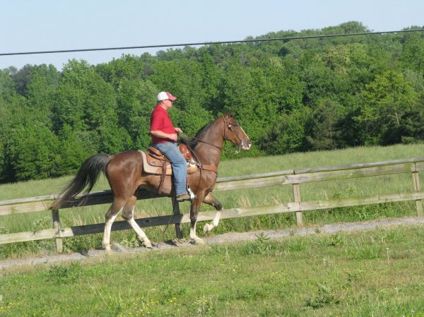 Bay Roan Tennessee Walking Horse for Sale in Alabama