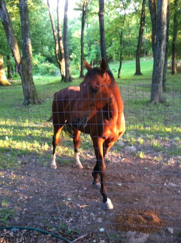 Bay Saddlebred Stallion