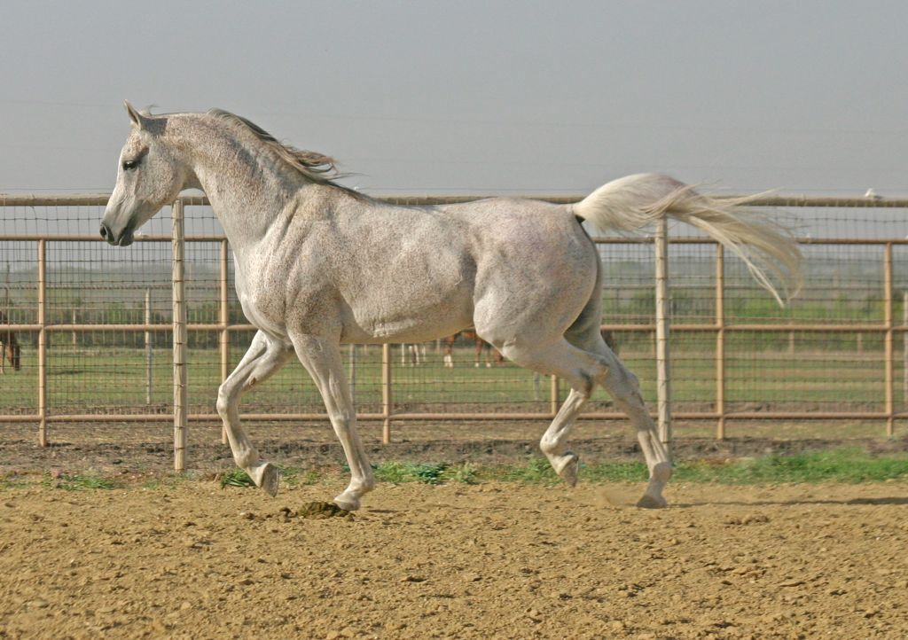 Grey Arabian Stallion
