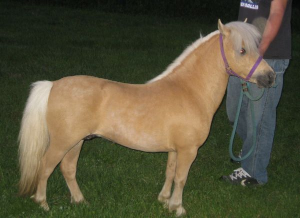 Palomino Miniature Stallion for Sale in New York