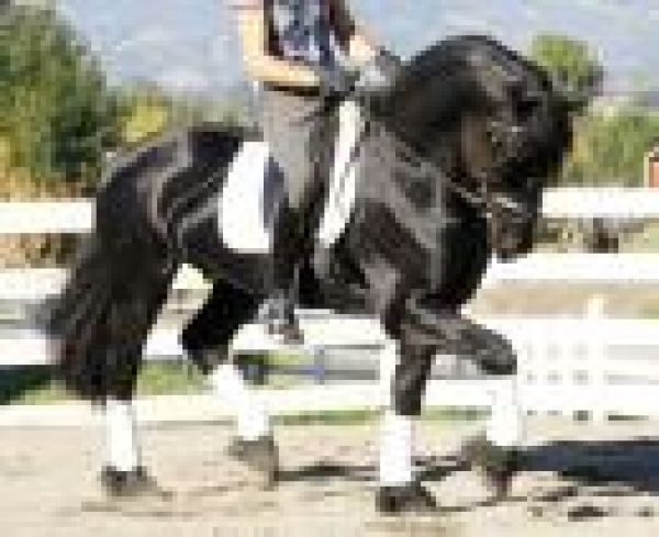 Black Friesian Stallion for Sale in Indiana