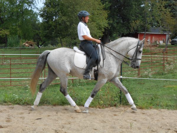 Grey Lusitano Horse for Sale in Indiana