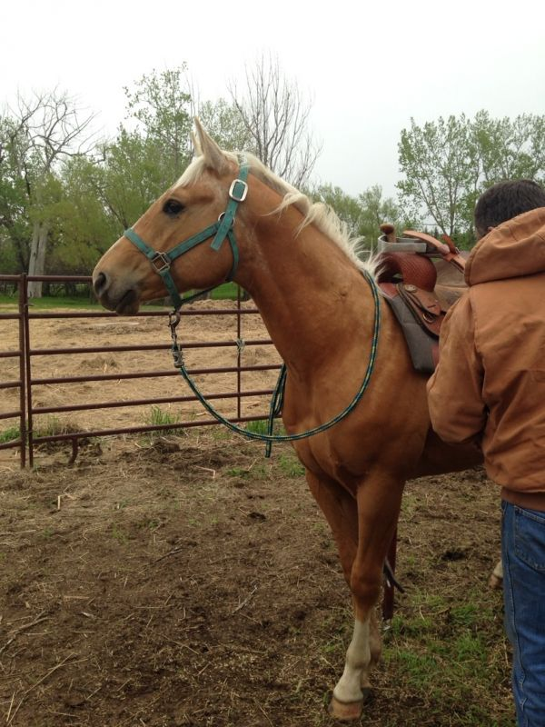 Palomino Quarter Horse Stallion for Sale in North Dakota