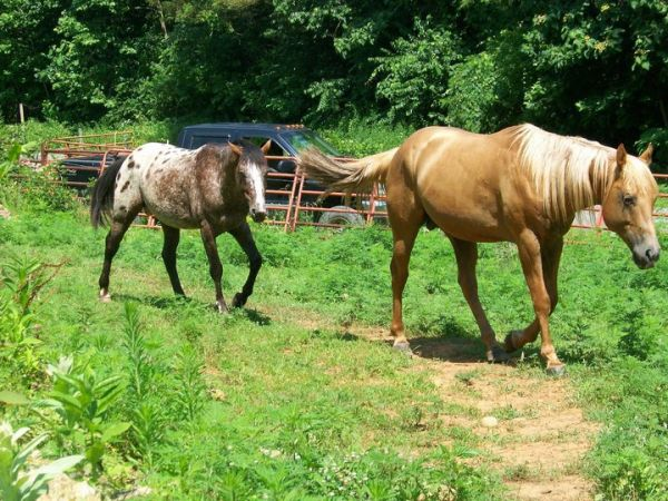 Brown Appaloosa Stallion for Sale in Virginia