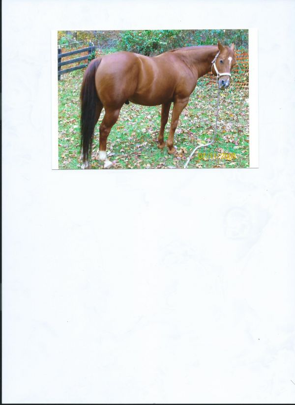 Sorrel Quarter Horse Stallion for Sale in Maryland
