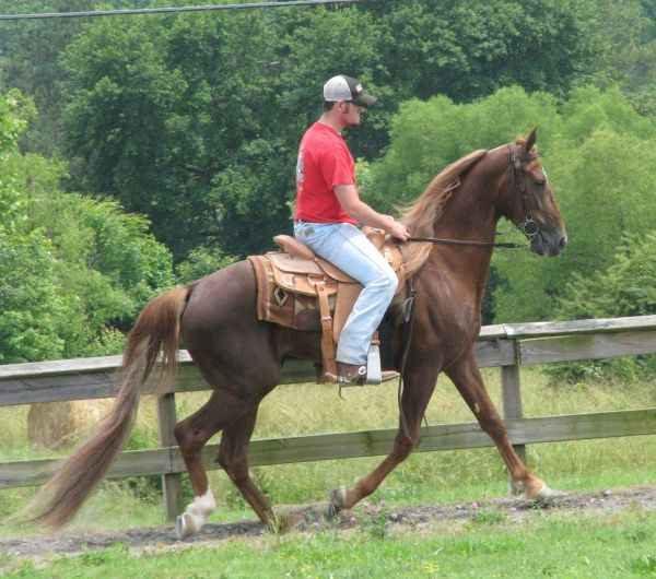 Chestnut Tennessee Walking Horse for Sale in Alabama