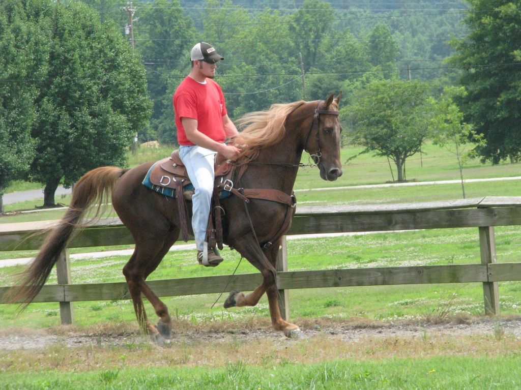 Chestnut Tennessee Walking Gelding