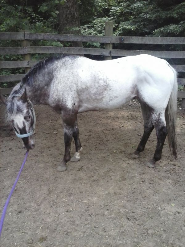 Silver Dapple POA Stallion for Sale in Indiana