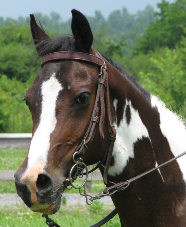 Bay Spotted Saddle Horse for Sale in Alabama
