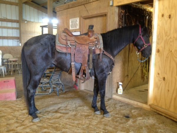 Blue Roan Appendix Horse for Sale in Missouri