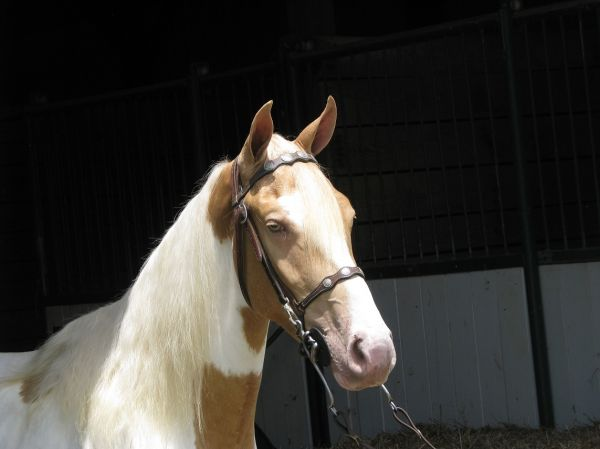 Palomino Spotted Saddle Horse for Sale in Alabama