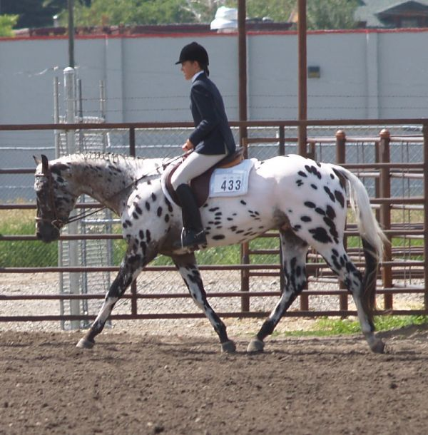 Other Appaloosa Stallion for Sale in Wyoming