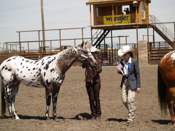 Blue Roan Appaloosa Stallion for Sale in Wyoming