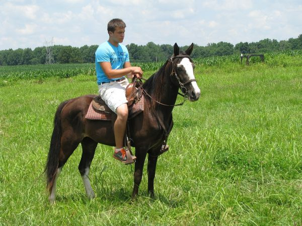 Black Tennessee Walking Horse for Sale in Alabama