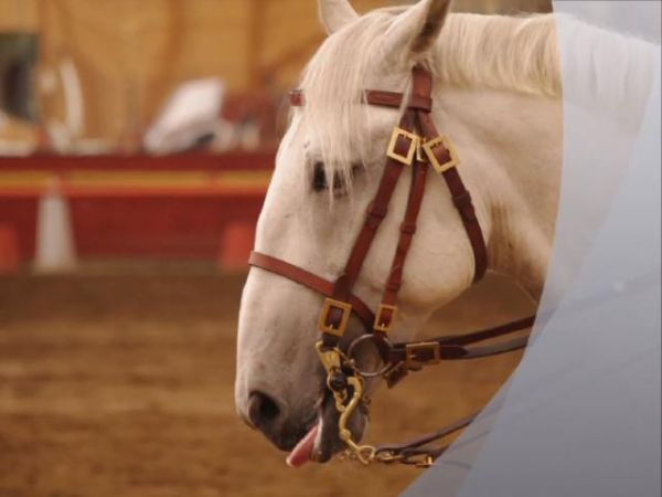 Grey Lipizzan Stallion for Sale in British Columbia