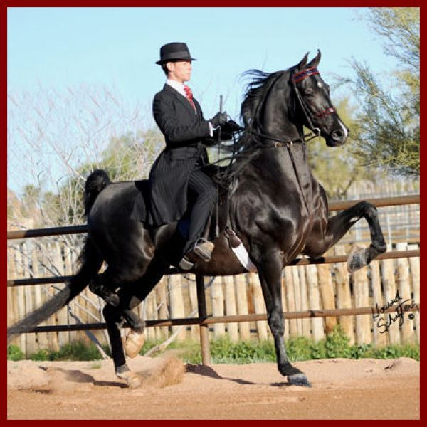 Black Saddlebred Stallion for Sale in Washington