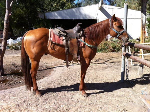 Red Dun Quarter Horse Stallion for Sale in California