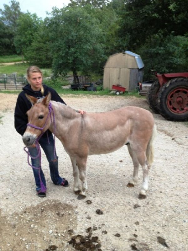 Grey Mule Horse for Sale in Missouri