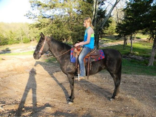 Black Tennessee Walking Horse for Sale in Missouri