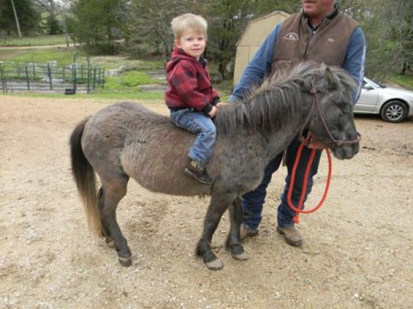 Blue Roan Miniature Horse for Sale in Missouri