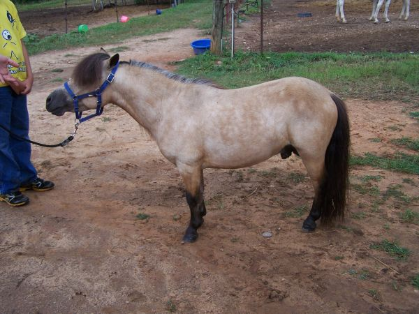 Buckskin Miniature Stallion for Sale in North Carolina