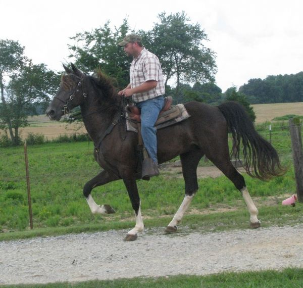 Smokey Black Tennessee Walking Gelding
