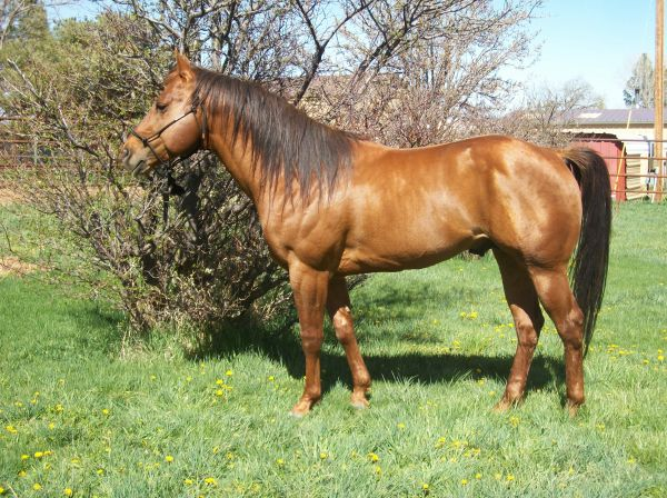 Chestnut Quarter Horse Stallion for Sale in Colorado