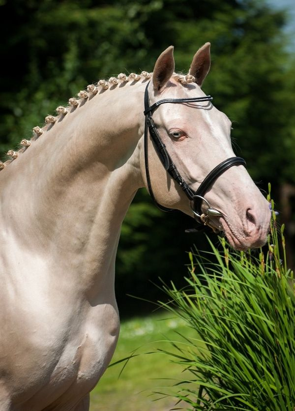 Perlino Akhal Teke Stallion for Sale in Stirlingshire