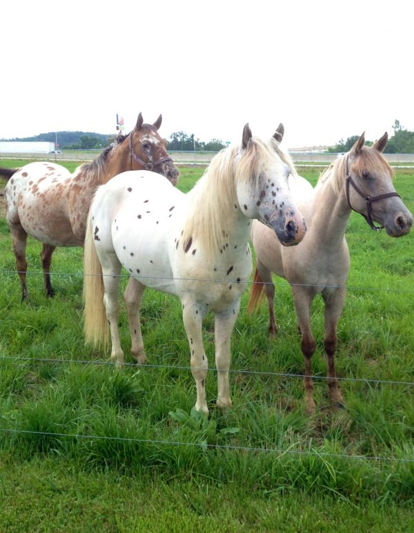White Appaloosa Stallion