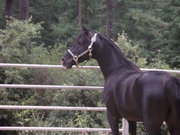 Black Arabian Stallion for Sale in California