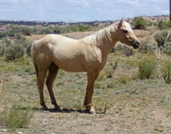 Palomino Quarter Horse Stallion for Sale in New Mexico