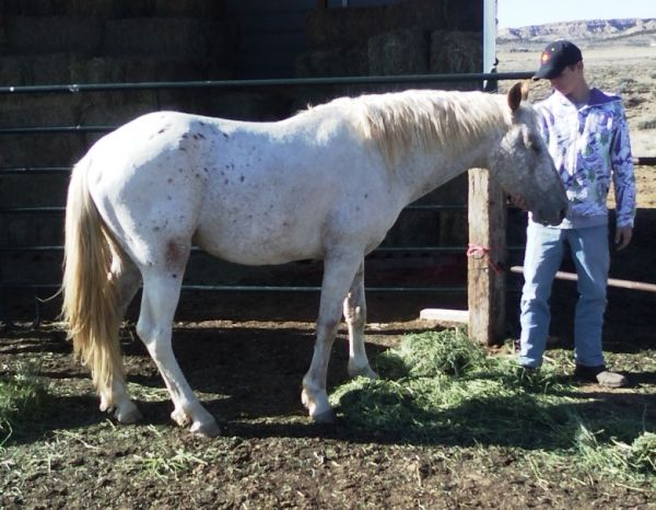Unknown Walkaloosa Stallion for Sale in New Mexico